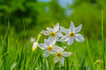 Wild narcissus flowers is a genus of mainly hardy mostly spring flowering bulbous perennials in the amaryllis family Stock Image