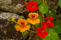 Wild nasturtium yellow and orange flowers against old stone wall Stock Image
