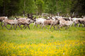 Wild northern deers crossing the flower field, Norway Royalty Free Stock Photo