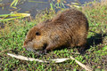 Wild nutria in Hula Lake nature reserve, Israel Royalty Free Stock Photo