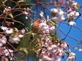 Wild Orange Bird standing on Cherry Blossoms Tree Royalty Free Stock Photography