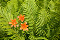 Wild orange lily among ferns. Royalty Free Stock Photo