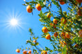 Wild orange tree in sunshine Royalty Free Stock Photo