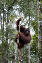 Wild orangutan, Borneo Stock Photos