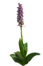 Wild Orchid - Barlia robertiana Stock Photography