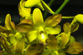 Wild orchid bright green in a black background Royalty Free Stock Image