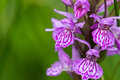Wild orchid close up of a purple Stock Image