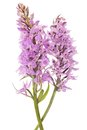 Wild orchid common spotted dactylorhiza fushsii Royalty Free Stock Photography