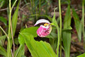 Wild orchid cypripedium guttatum a close up of the flower of lady s slipper Stock Photo