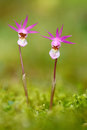 Wild orchid from Finland. Calypso bulbosa, beautiful pink orchid. Flowering European terrestrial wild orchid, nature habitat, deta Royalty Free Stock Photo