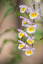 Wild orchid in northeast thailand Royalty Free Stock Photos