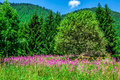 Wild orchids in an alpine meadow melchsee frutt switzerland europe Royalty Free Stock Image