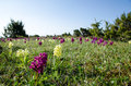 Wild orchids field at the great alvar plain on the island oland in sweden Stock Photo