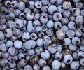 Wild  organic blueberries Royalty Free Stock Image