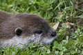 Wild Otter Stock Photography