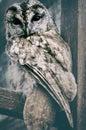 Wild Owl. Wild Nature Image