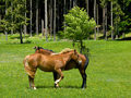 Wild paarden in berg Stock Foto