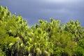 Wild palm trees Stock Image