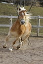 A wild palomino horse running in italian ranch Stock Photography