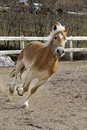 A wild palomino horse running in italian ranch Stock Photo