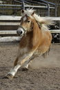 A wild palomino horse running in italian ranch Royalty Free Stock Image