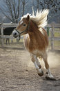 A wild palomino horse running in italian ranch Stock Images