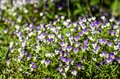 stock image of  Wild pansies, Viola tricolor, blooming on a rock
