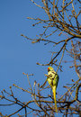 Wild parakeet in tree a shot of a perched a taken bushy park uk Royalty Free Stock Images