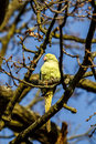 Wild parakeet in tree sitting a Royalty Free Stock Image