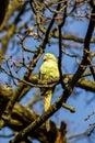 Wild parakeet in tree sitting a Royalty Free Stock Image
