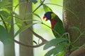 Wild Parrot Royalty Free Stock Photo