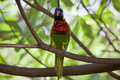 Wild Parrot Royalty Free Stock Photo