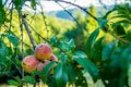 Wild peaches in France Royalty Free Stock Photo