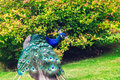 Wild Peacock in Holland Park Royalty Free Stock Photo