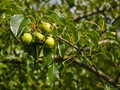 Wild pear tree pears ripening on a try in the afternoon sun in early september Stock Photography