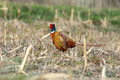 Wild pheasant rooster in agricultural field Royalty Free Stock Photo