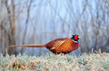 Wild pheasant standing in a forst covered field Royalty Free Stock Photo