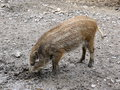 Wild pig baby in nature background Royalty Free Stock Photo