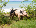 Wild pig on beach in St Martin Stock Images