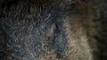 Wild pig closeup a of an eye of a Royalty Free Stock Image