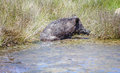 Wild pig cooling down in swamp Royalty Free Stock Photo
