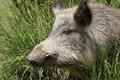 Wild pig sleeping in the sun Stock Photo