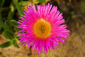 Wild pink flower flowers growing at caledon s botanical garden western cape south africa Stock Images