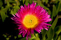 Wild pink flower growing at caledon s botanical garden western cape south africa Stock Photo