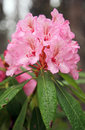 Wild Pink Rhododendrons Royalty Free Stock Photos