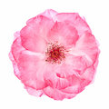 Wild pink rose Royalty Free Stock Photo