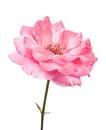 Wild pink rose Royalty Free Stock Photo