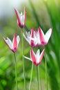 Wild pink white tulips Royalty Free Stock Photo
