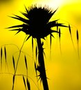 Wild plants backlit on yellow background, oats and milk thistle Royalty Free Stock Photo