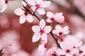 Wild plum blossom of tree nature photography Royalty Free Stock Photography